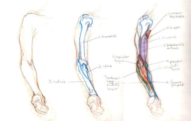 Anatomy_Study__Arm_by_gavinslayer.jpg